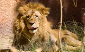 lion-licking-lips