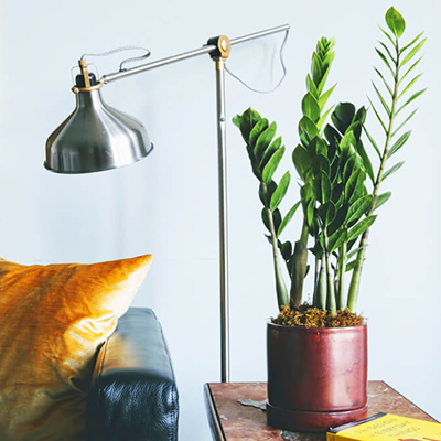 plant-zanzibar-gem-1